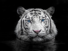 Face Of Siberian White Tiger O...