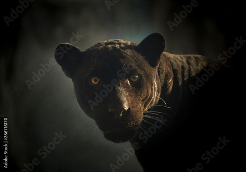 Photo Stands Panther Black Jaguar's face in the natural atmosphere.