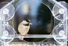 One Small Chickadee Bird Sitting Perched On Plastic Glass Window Feeder In Virginia Eating Holding Sunflower Seeds In Mouth