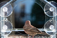 Closeup Of Male Red Purple House Finch Bird Perched On Plastic Glass Window Feeder In Virginia Eating Sunflower Seeds