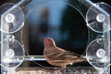 Closeup Side Of Male Red House Finch Bird Perched On Plastic Glass Window Feeder In Virginia Eating Sunflower Seeds