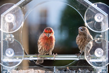 Two Male Female Red Brown House Finch Birds Perched On Plastic Glass Window Feeder Love In Virginia Eating Sunflower Seeds