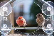Closeup Of Two Male Female Red Brown House Finch Birds Perched On Plastic Glass Window Feeder In Virginia Eating Sunflower Seeds