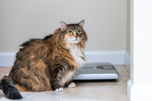 Calico Maine Coon Cat Looking Up In Bathroom Room In House By Weight Scale With Overweight Obese Fat Feline