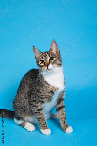 Fototapeta Studio shot of a gray and white striped cat sitting on blue background obraz na płótnie