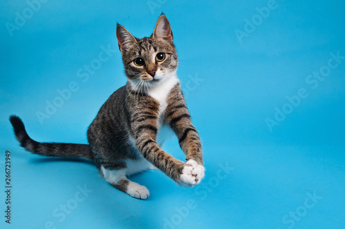 Keuken foto achterwand Kat Studio shot of a gray and white striped cat sitting on blue background
