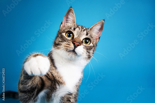 Studio shot of a gray and white striped cat sitting on blue background