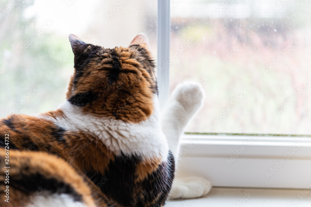 Fototapety, obrazy: Closeup of one female cute calico cat lying down by windowsill sill indoors of house home room looking out through window touching with paw