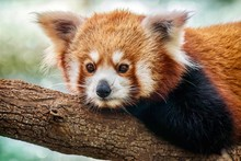 A Close-up Portrait Of A Cute Red Panda (Latin - Ailurus Fulgens) Relaxing On A Tree Branch.