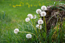 Dandelion Puff Flowers, The Be...