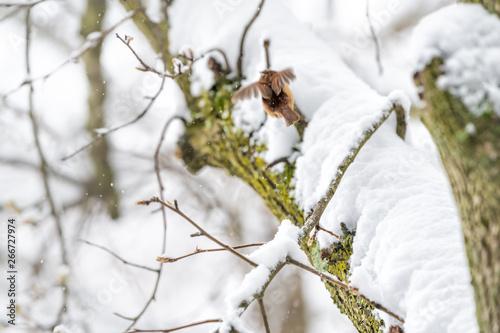 Valokuva  Closeup of one small brown carolina wren bird flying away on tree branch trunk d