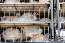Sick And Sad Live Turkeys Transported To Slaughterhouse In Truck For Thanksgiving In Crammed Metal Cages, Showing Animal Cruelty