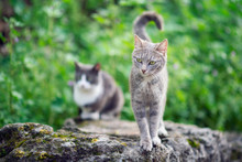 Grey Cat Standing And Looking Around In Front Of Another Unfocused Cat On A Big Rock In The Green Nature.