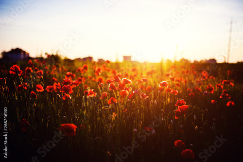 Fototapeta Beautiful field of red poppies in the sunset light obraz na płótnie