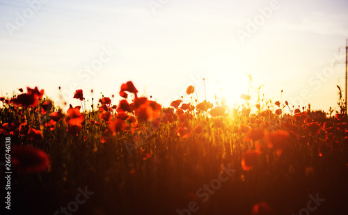 Garden Poster Brown Beautiful field of red poppies in the sunset light