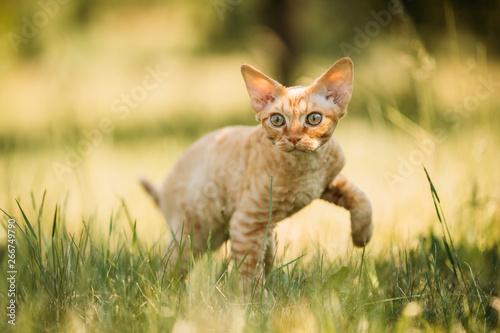 Fotografia Funny Young Red Ginger Devon Rex Kitten In Green Grass