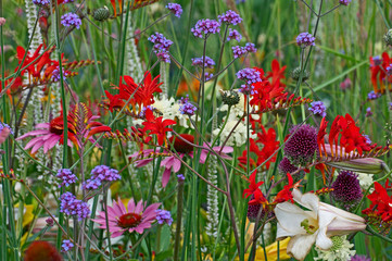 Fototapeta Ogrody A close up of a colourful flower border with crocosmia, verbena and echinacea
