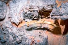 Brown Praying Mantis Sitting B...