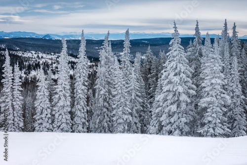 Frosted Pine and Aspen trees line the ski slopes of Steamboat Springs, in the Rocky Mountains of Colorado.