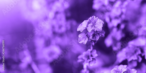 Color of the year 2018: Ultra violet. Abstract pastel deep purple color, based on grass