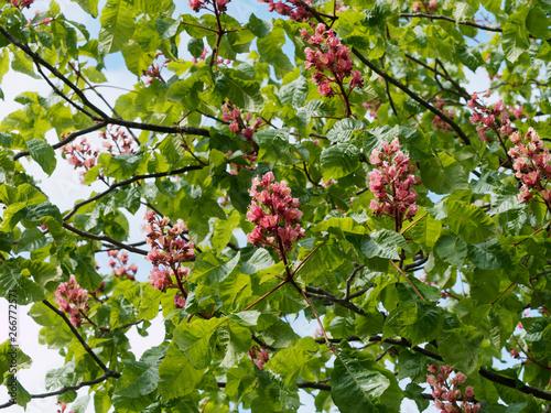 Fotografía Aesculus × carnea - Marronier à fleurs rouges, un bel arbre d'ornement et d'ombr