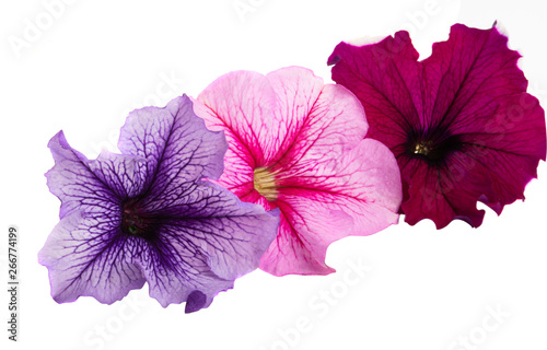 Spoed Fotobehang Pansies petunia flower isolated