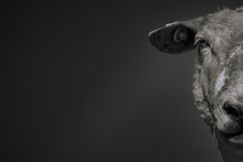 Half-face Portrait Of A Sheep Isolated On Black-gray Background In Lower Saxony, Germany