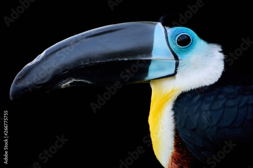 Side profile close-up of a channel-billed toucan and black background - Ramphastos vitellinus