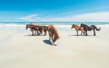 Wild Beach Horses