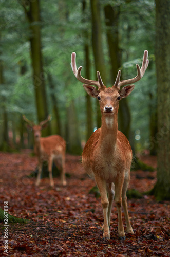 obraz lub plakat young deer in the forest
