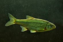 Schneider, Spirlin, Bleak, Riffle Minnow (Alburnoides Bipunctatus).