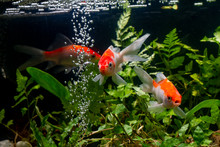 Koi Fish Gold Background Of Aq...