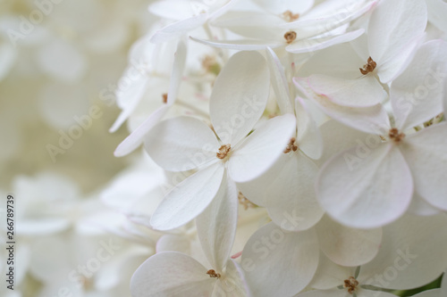 Photo sur Toile Hortensia White hydrangea / hortensia. Close-up on a flower showing coloured sepals around the four petals.