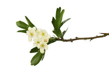 Hawthorn Flowers And Foliage