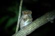 Spectral Tarsier, Tarsius spectrum, portrait of rare endemic nocturnal mammal eating grasshopper, small cute primate in large ficus tree in jungle, Tangkoko National Park, Sulawesi, Indonesia, Asia