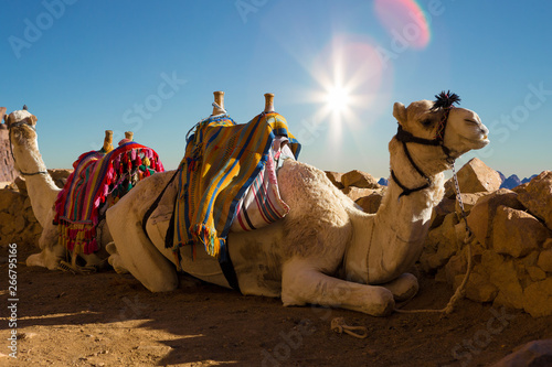 Fotobehang Kameel Dromedar camel in the background sands of hot desert, Egypt, Sinai