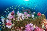 Piękni, kolorowi miękcy korale na tropikalnej rafie przy czerni skałą, Mergui archipelag, Myanmar - 266796113