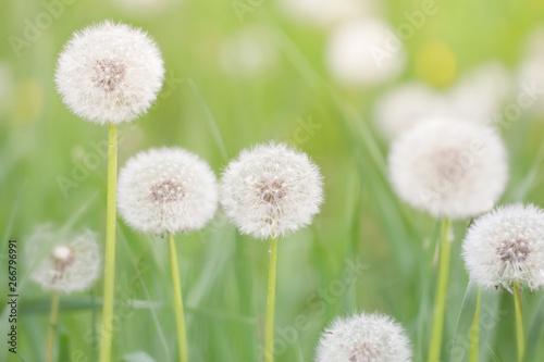 Fototapety, obrazy: fluffy dandelions in May green grass, festive soft spring background