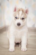 Cute Siberian Husky Puppy Beautiful
