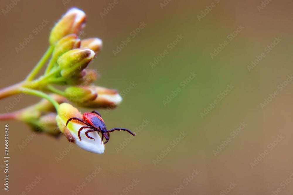 Fototapeta ixodic tick close up. Macro photo