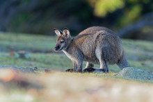 Bennett's Wallaby - Macropus Rufogriseus, Also Red-necked Wallaby, Medium-sized Macropod Marsupial, Common In Eastern Australia, Tasmania