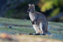 Bennett's Wallaby - Macropus Rufogriseus, Also Red-necked Wallaby, Medium-sized Macropod Marsupial, Common In Eastern Australia, Tasmania