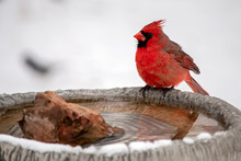 A Pretty Red Male Cardinal Sit...