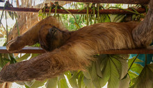 Relaxing Sloth