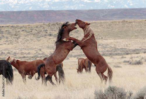 Valokuvatapetti Wild Mustangs of McCullough Peaks
