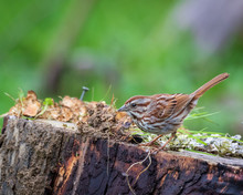 Sparrow Of A Moss Covers Log