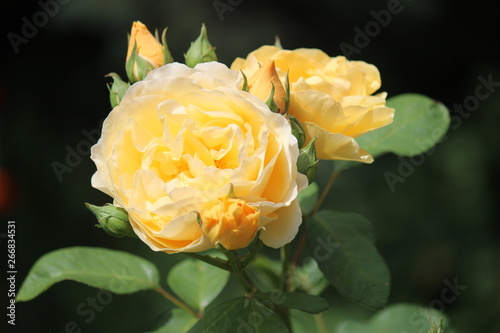 Yellow rose in black