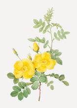 Yellow Sweetbriar Roses