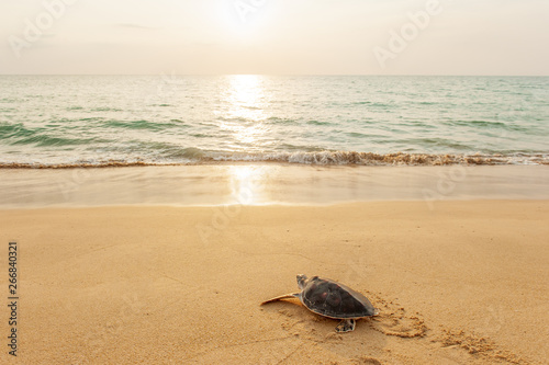 Fototapeta  Green Sea Turtle on the tropical beach at sunset, heading for the ocean for the first time