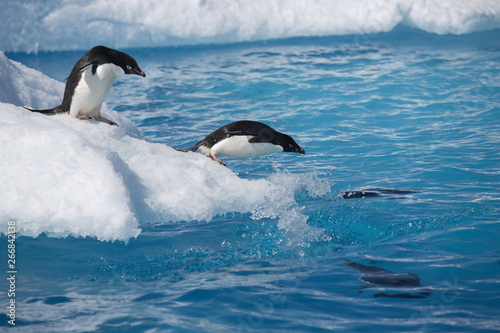 Fotomural  Adelie penguins leap into the ocean from an iceberg